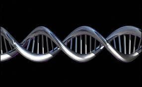 Cochez la réponse juste concernant la composition de l'ADN au niveau des nucléotides.