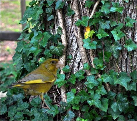 Le lierre est une plante fondamentale pour nos oiseaux au jardin !