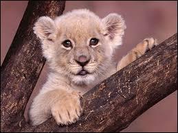Je suis un animal de la savane. J'ai une crinière et on dit de moi que je suis le roi des animaux. Qui suis-je ?