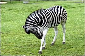 Je ressemble à un cheval et on dit parfois que je suis un cheval en pyjama. Qui suis-je ?