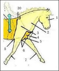 À quelle grande partie du cheval appartient le poitrail ?