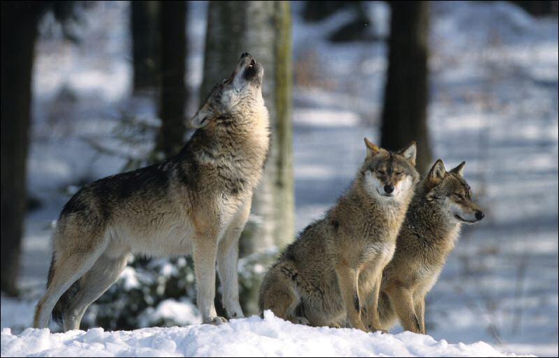 quizz loup y es tu oui mais pas le loup qu on croit quiz animaux homonymes