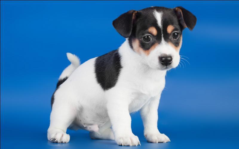 quizz races de chiens quiz races chiens races de chiens. Black Bedroom Furniture Sets. Home Design Ideas