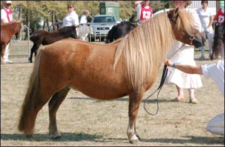 Ce poney est...