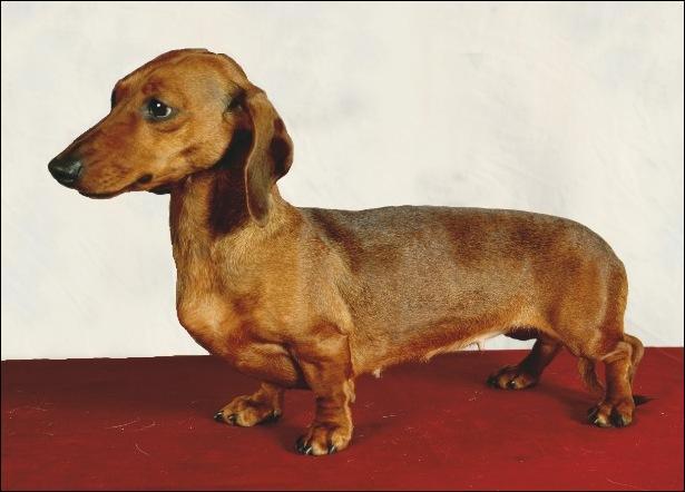 """Basset d'Allemagne, à poil long, ras ou dur, on m'appelle familièrement """"chien saucisse"""" ! Bien sûr, je suis un..."""