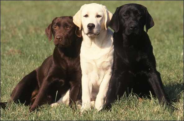 Doux, intelligent, docile, mon caractère fait de moi un chien très recherché comme chien de compagnie, chien de travail, notamment comme chien guide d'aveugle. Je suis un...