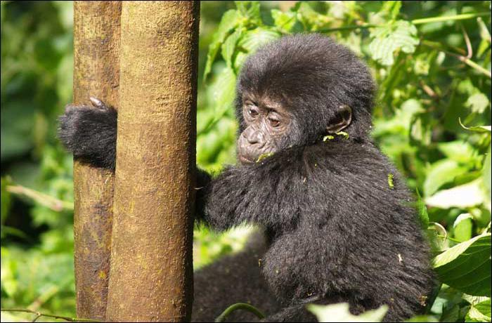 Donnez moi le nom du bébé gorille :