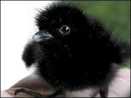 Connaissez-vous celui du bébé corbeau ?