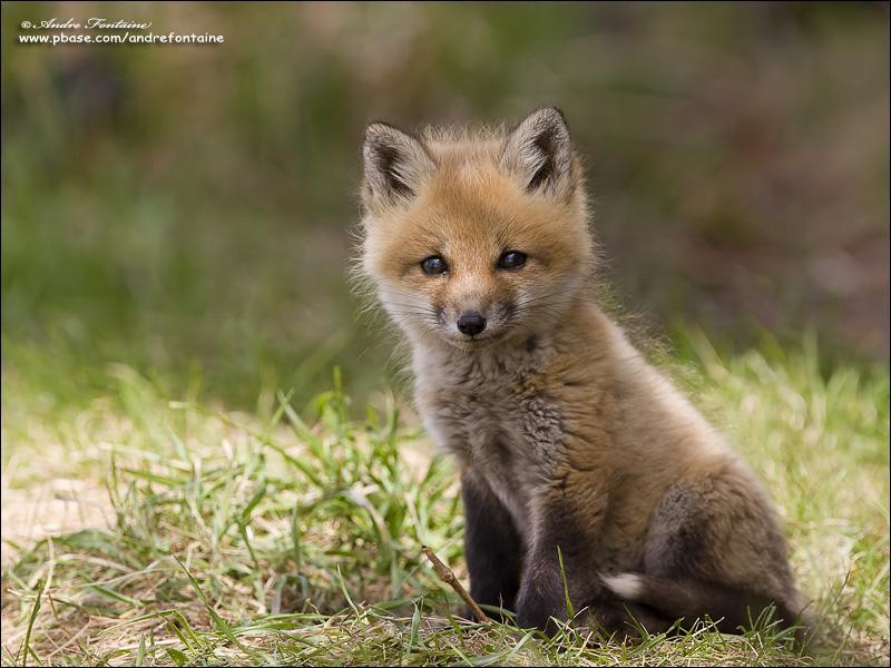 Comment se nomme le bébé renard ?