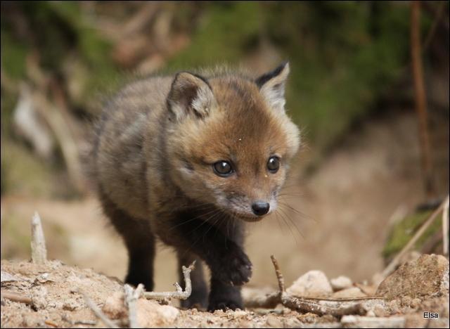 Que fait le bébé renard quand il crie ?