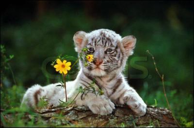 Et comment s'exprime le petit tigre ?