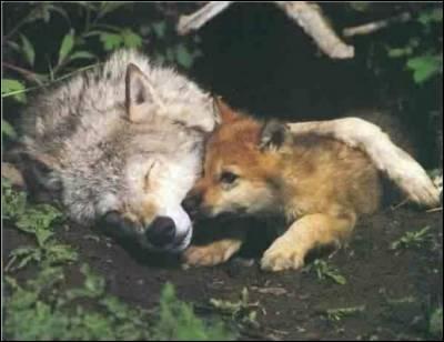 Quel nom porte le bébé loup ?