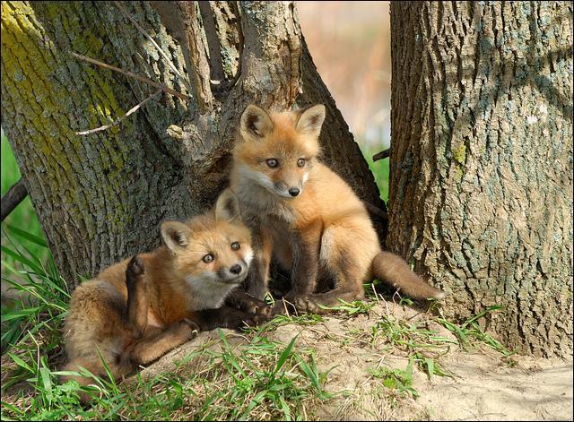 Qu'est-ce que le phalenger-renard ?