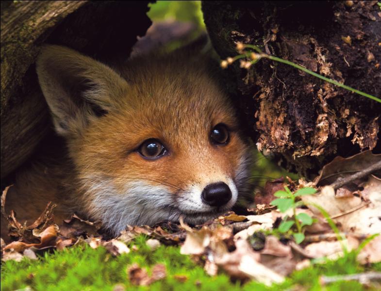 """Dans laquelle de ces fables lit-on """"honteux comme un renard qu'une poule aurait pris"""" ?"""