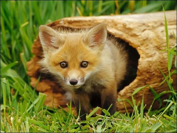 Dans une chanson de Daniel Guichard, qui est un peu renard, un peu loup ?