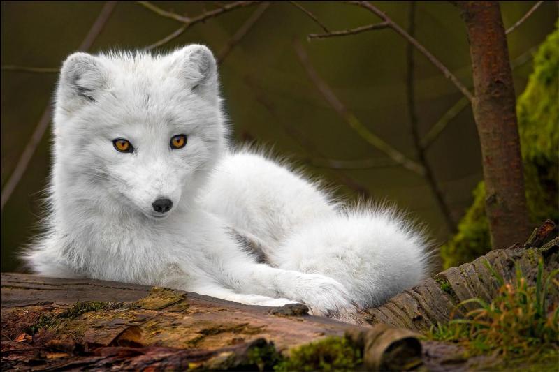"""Lequel de ces animaux peut être """"renard"""" ?"""