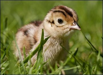 Petit gallinacé, je commence à voler 12 à 14 jours après être sorti de l'œuf. Le plumage de mon papa est éclatant. Il est chassé comme gibier à plumes pour sa chair délicate. Ma maman est...