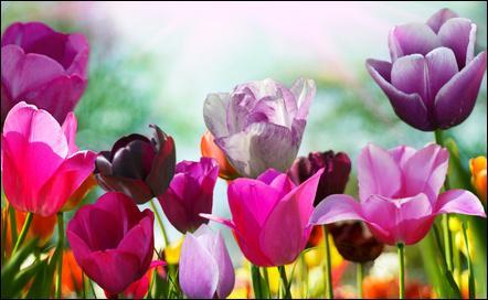 Cette fleur est une spécialité de ce pays, je ne vous en dis pas plus !