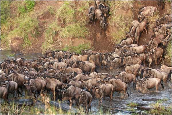C'est la plus grande migration de gnous d'Afrique, elle se déroule sur deux pays, dont celui-ci !