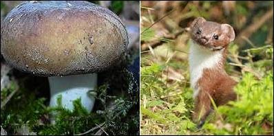 C'est bien une russule, tous les spécialistes de champignons l'ont reconnue ! Oui, mais laquelle ?