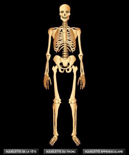 Combien d'os un squelette humain adulte compte-t-il ?