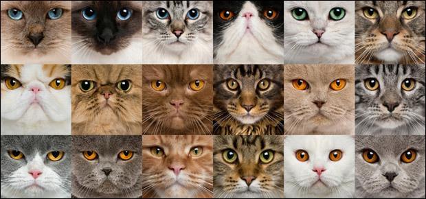 Combien existe-t-il de races de chats ?