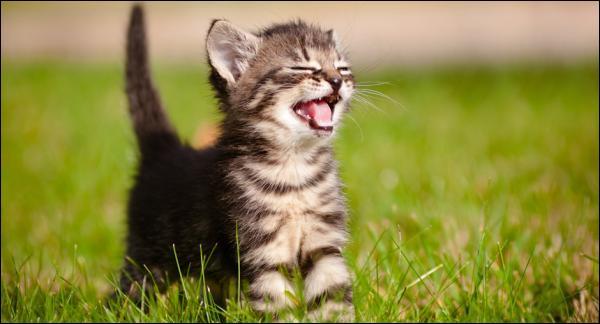 Comment s'appelle le cri du chat ?