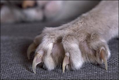 """Comment se nomment les """"ongles"""" du chat ?"""