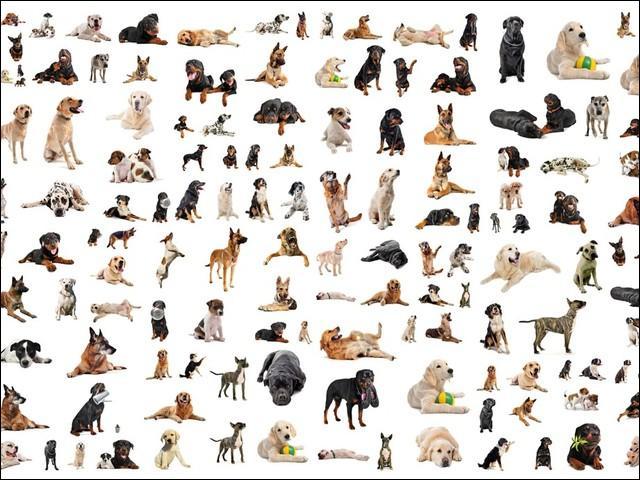 Combien existe-t-il de races de chiens ?
