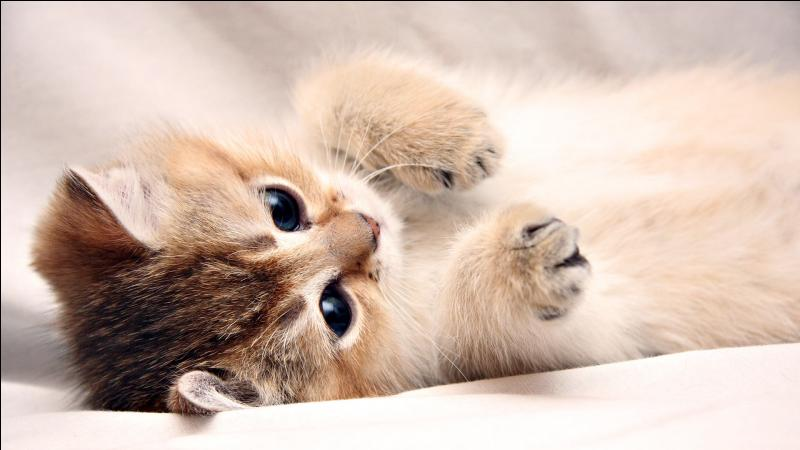 Comment s'appelle l'ensemble des poils du chat ?