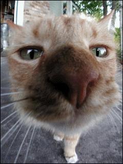 L'odorat du chat est :