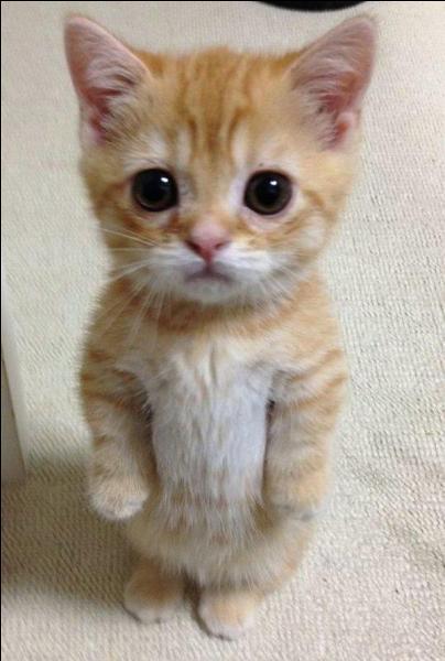 À quel goût le chat est-il insensible ?