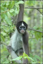 Quelle est cette espèce de singes ?