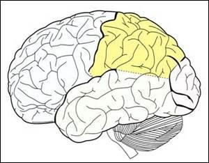 Quelle est cette partie du cerveau ? (en jaune)