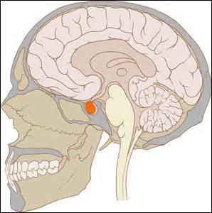 Quelle est cette partie du cerveau ? (en orange)