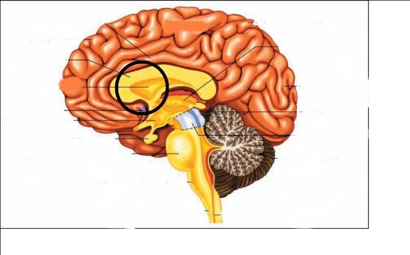 Quelle est cette partie du cerveau ? (entourée)