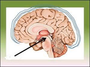 Quelle est cette partie du cerveau ? (montrée par la flèche)