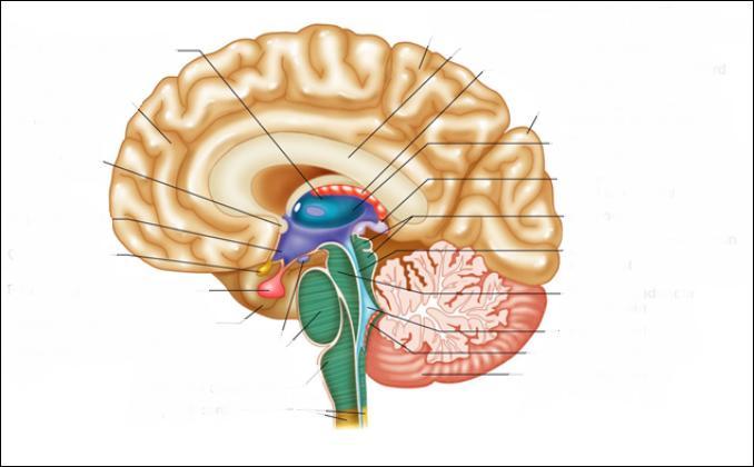 Comment s'appelle la partie qui est au-dessus du cerveau ?