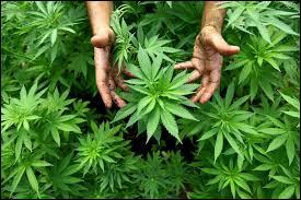 En France, pour quelle maladie, le cannabis est-il autorisé ?