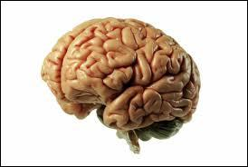 Comment s'appellent les plis visibles sur le cerveau ?