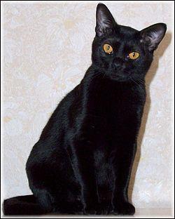Panthère miniature en robe noire et aux grands yeux cuivrés, je suis sociable et affectueux. Actif et bon chasseur, je m'adapte à la vie en appartement et suis un excellent chat de compagnie. Le premier ... arrivé en France, en 1989, était une femelle nommée Opium !