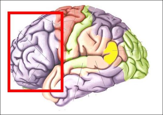 Si tu tombes amoureux(se), c'est cette zone de ton cerveau que tu feras travailler car :