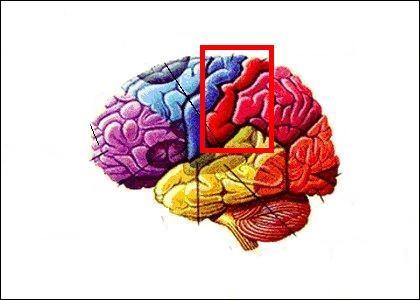 """C'est une bonne astuce d'utiliser cette partie de ton cerveau pour être le/la meilleur(e) à """"Cola Maya"""". Elle permet de :"""