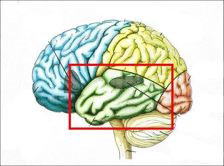Enfin, sais-tu que c'est grâce à cette partie-ci de ton cerveau qu'il t'est possible d'écouter de la musique ? Nous en concluons donc qu'elle s'occupe :