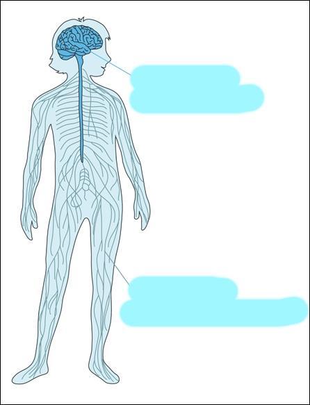 Quels éléments relient le cerveau au reste du corps ?