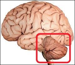 Comment s'appelle cette partie du cerveau ?