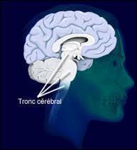 Quelle est la fonction du tronc cérébral ?