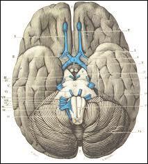 Combien y a-t-il de paires de nerfs crâniens ?