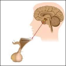 ________ est une glande qui fabrique les hormones.