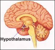 L'hypothalamus contrôle la faim, la soif et :